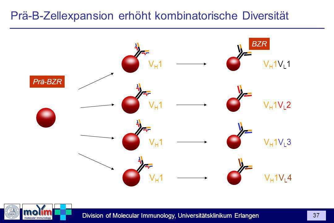 Prä-B-Zellexpansion erhöht kombinatorische Diversität