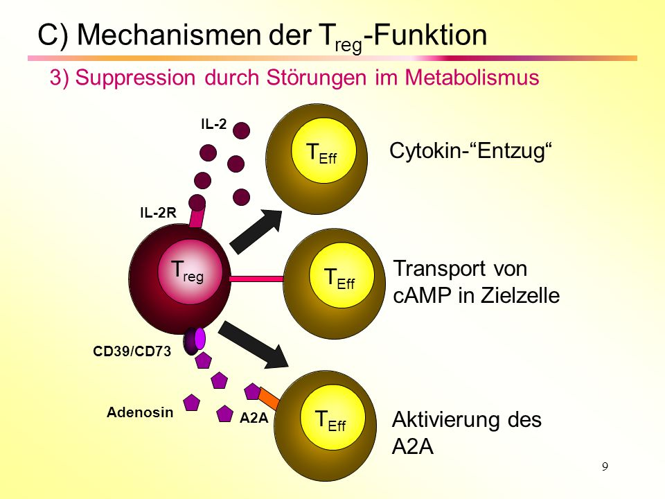 C) Mechanismen der Treg-Funktion