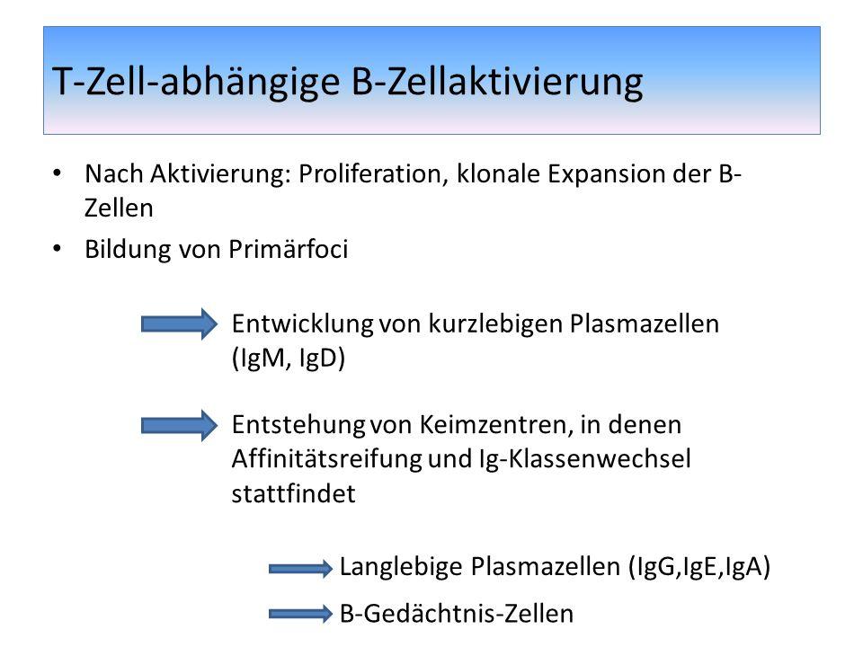T-Zell-abhängige B-Zellaktivierung