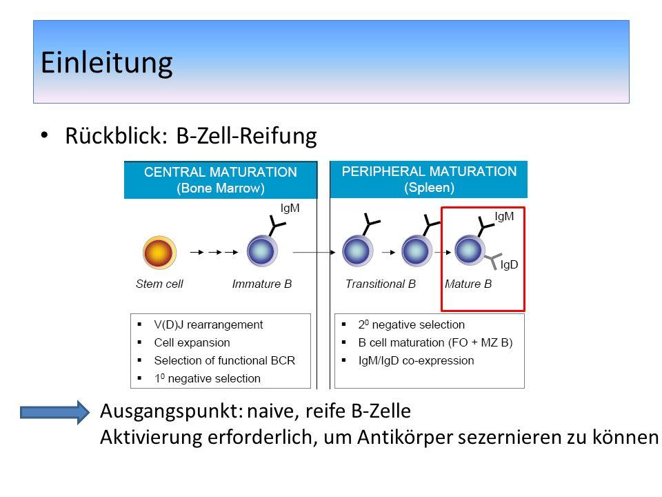 Einleitung Rückblick: B-Zell-Reifung