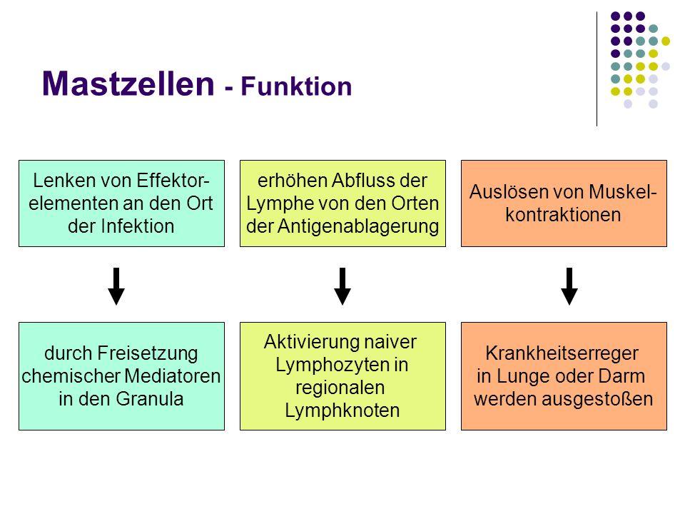 Mastzellen - Funktion Lenken von Effektor- elementen an den Ort