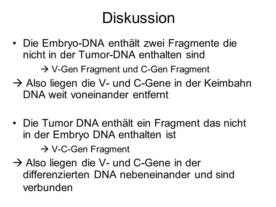 Diskussion Die Embryo-DNA enthält zwei Fragmente die nicht in der Tumor-DNA enthalten sind.  V-Gen Fragment und C-Gen Fragment.