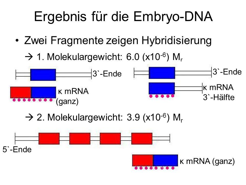 Ergebnis für die Embryo-DNA