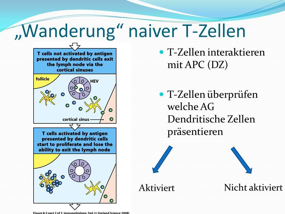 """Wanderung naiver T-Zellen"