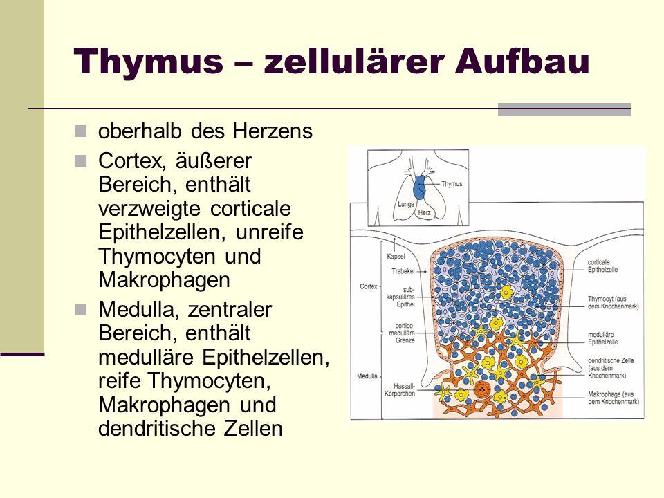 Thymus – zellulärer Aufbau