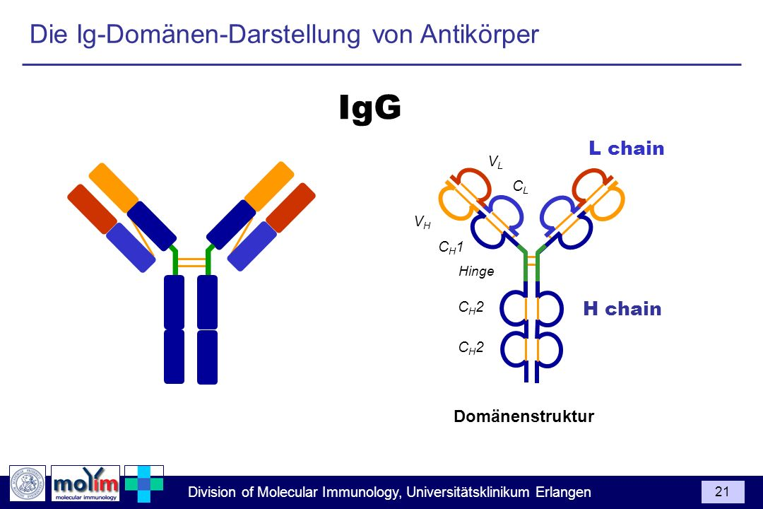 IgG Die Ig-Domänen-Darstellung von Antikörper L chain H chain