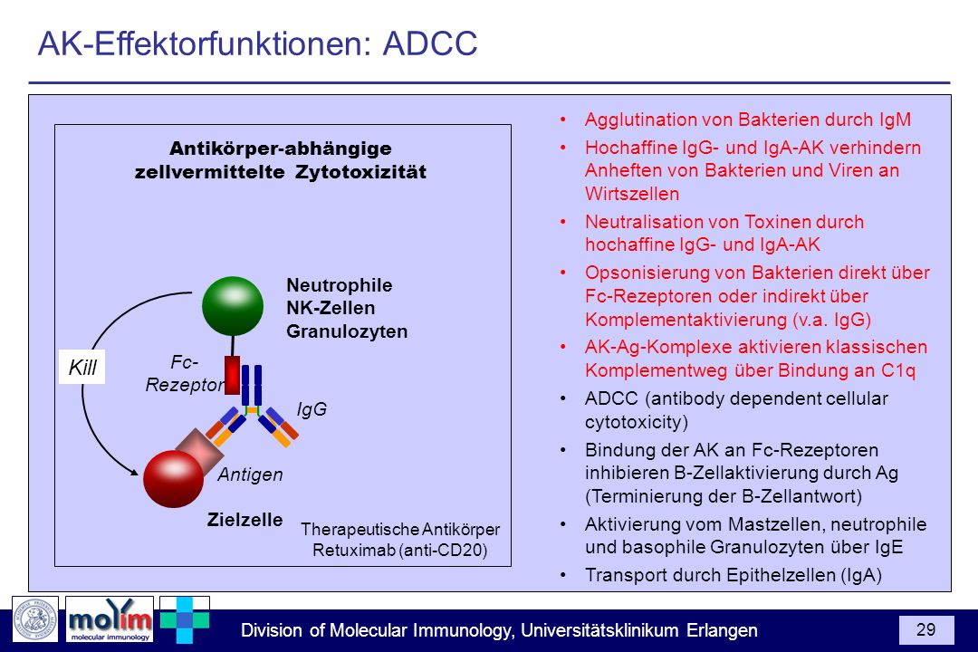 AK-Effektorfunktionen: ADCC