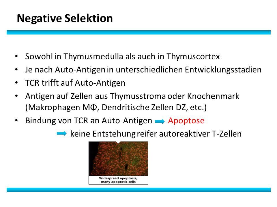 Negative Selektion Sowohl in Thymusmedulla als auch in Thymuscortex