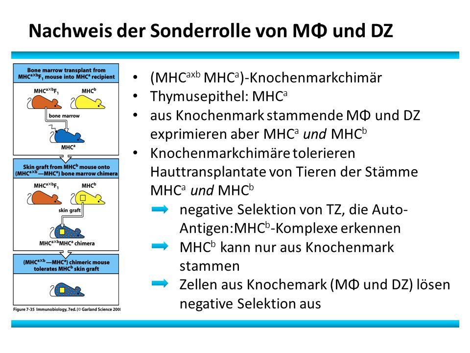 Nachweis der Sonderrolle von MΦ und DZ