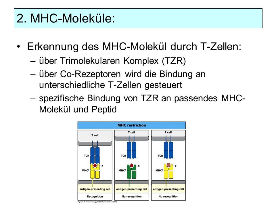 2. MHC-Moleküle: Erkennung des MHC-Molekül durch T-Zellen: