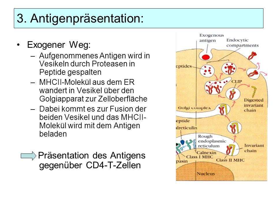 3. Antigenpräsentation: