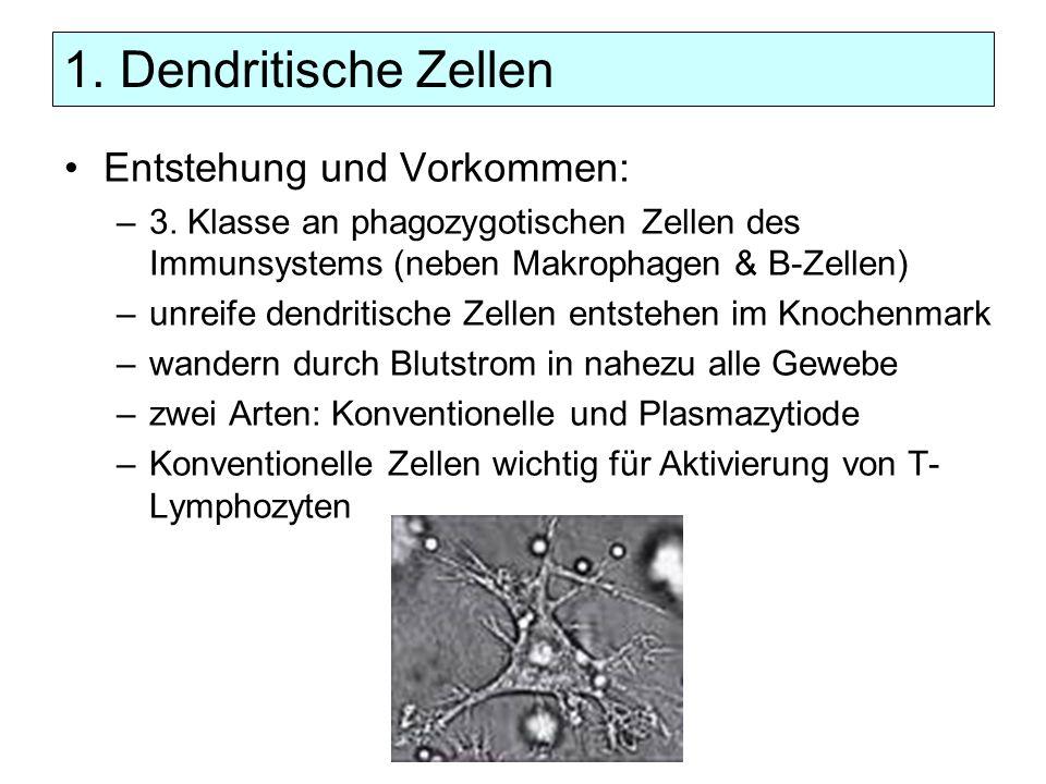 1. Dendritische Zellen Entstehung und Vorkommen: