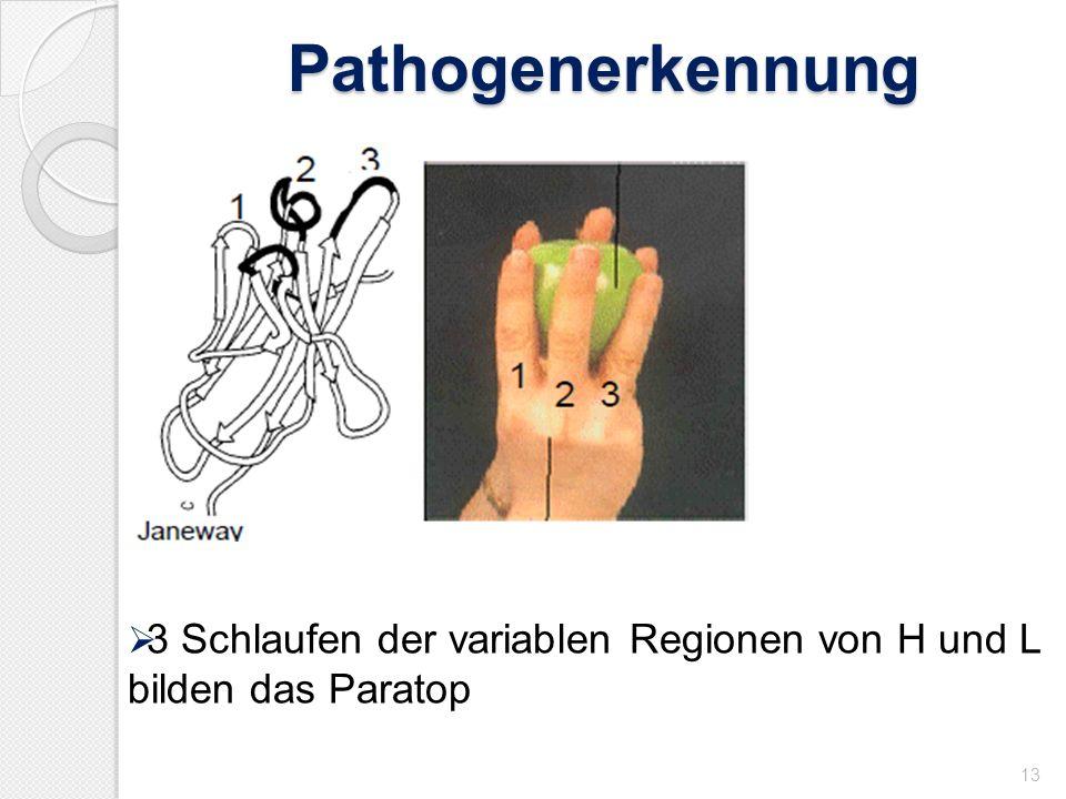 Pathogenerkennung 3 Schlaufen der variablen Regionen von H und L bilden das Paratop