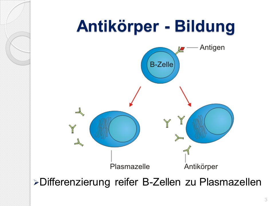 Antikörper - Bildung Differenzierung reifer B-Zellen zu Plasmazellen