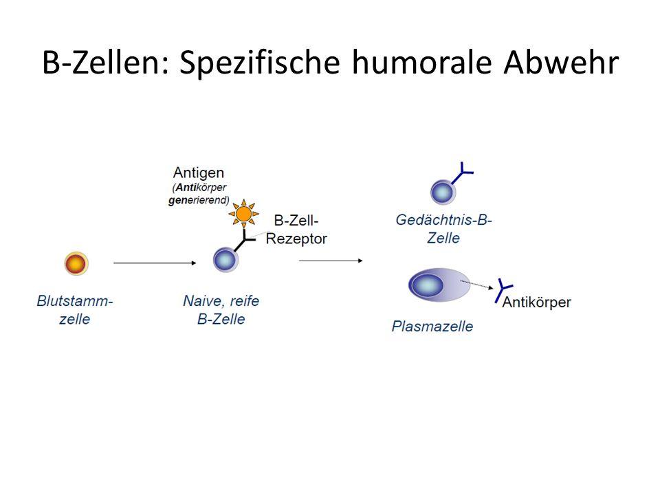 B-Zellen: Spezifische humorale Abwehr