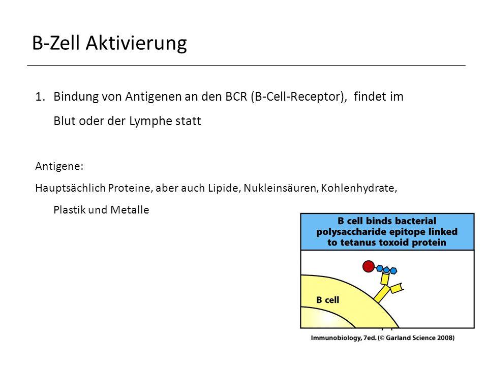 B-Zell Aktivierung Bindung von Antigenen an den BCR (B-Cell-Receptor), findet im Blut oder der Lymphe statt.