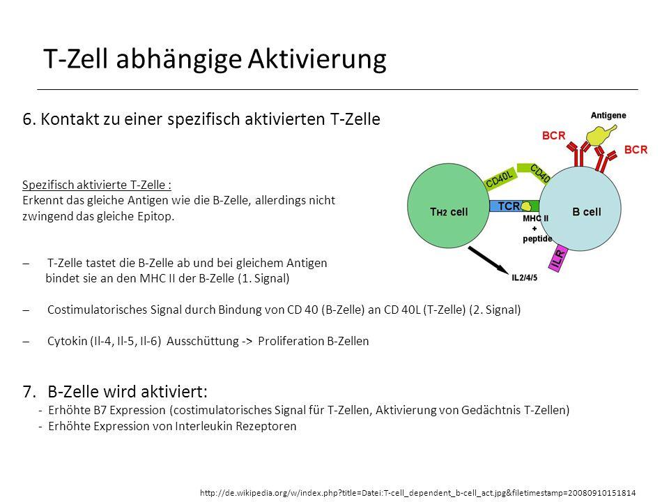 T-Zell abhängige Aktivierung