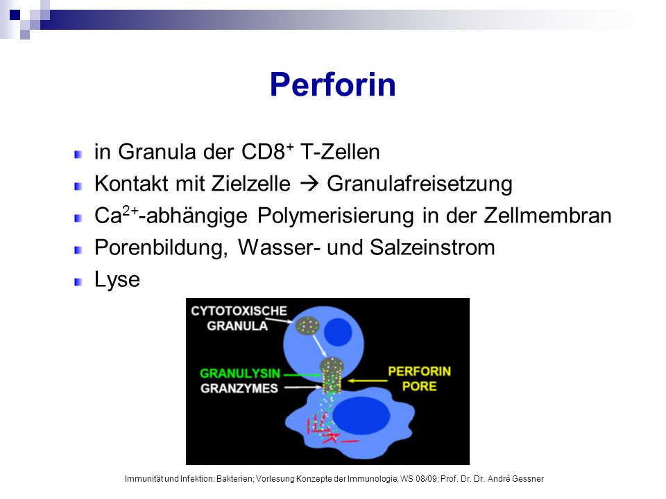 Perforin in Granula der CD8+ T-Zellen