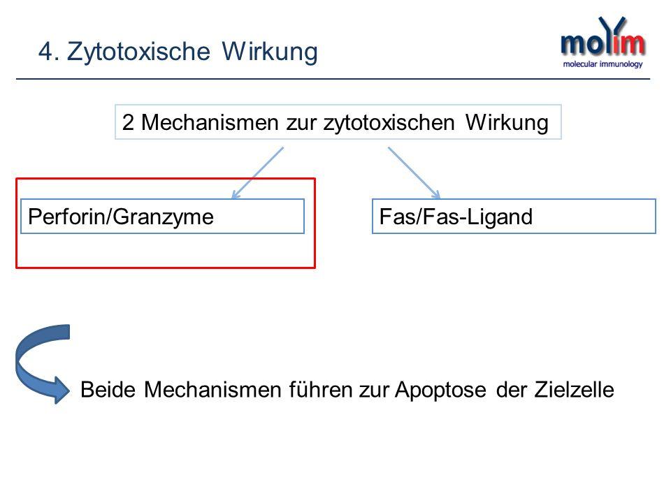 4. Zytotoxische Wirkung 2 Mechanismen zur zytotoxischen Wirkung