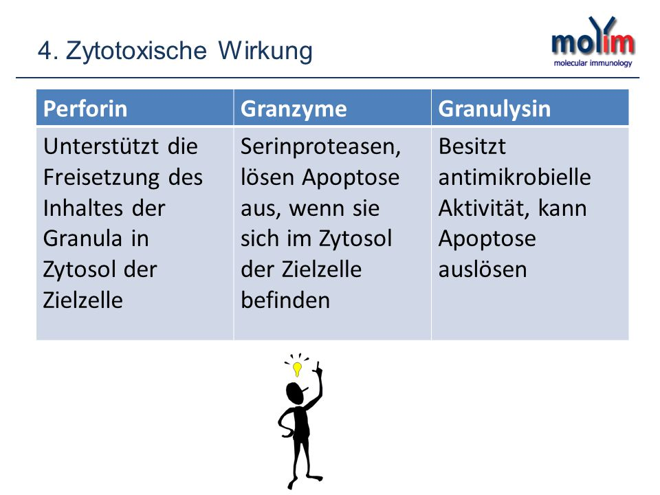 4. Zytotoxische Wirkung Perforin. Granzyme. Granulysin. Unterstützt die Freisetzung des Inhaltes der Granula in Zytosol der Zielzelle.