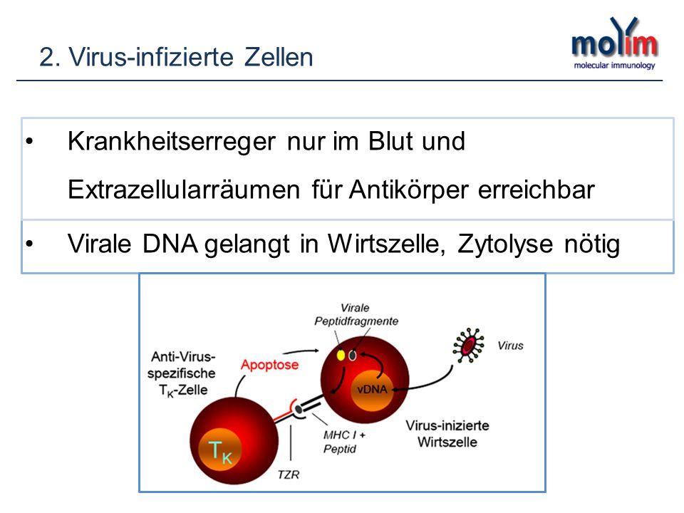 2. Virus-infizierte Zellen