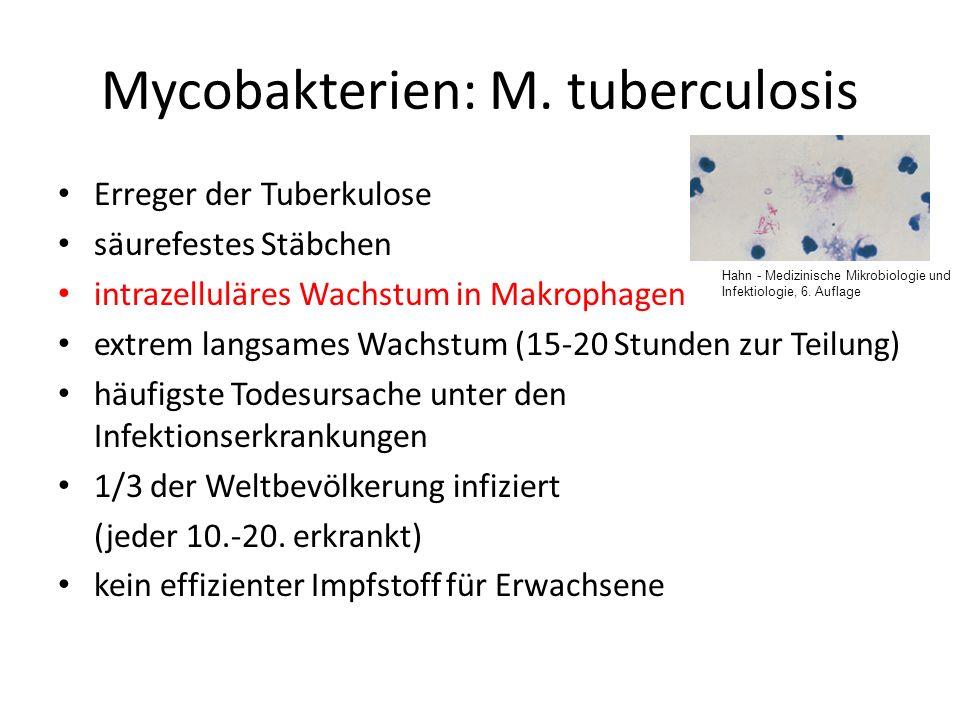 Mycobakterien: M. tuberculosis