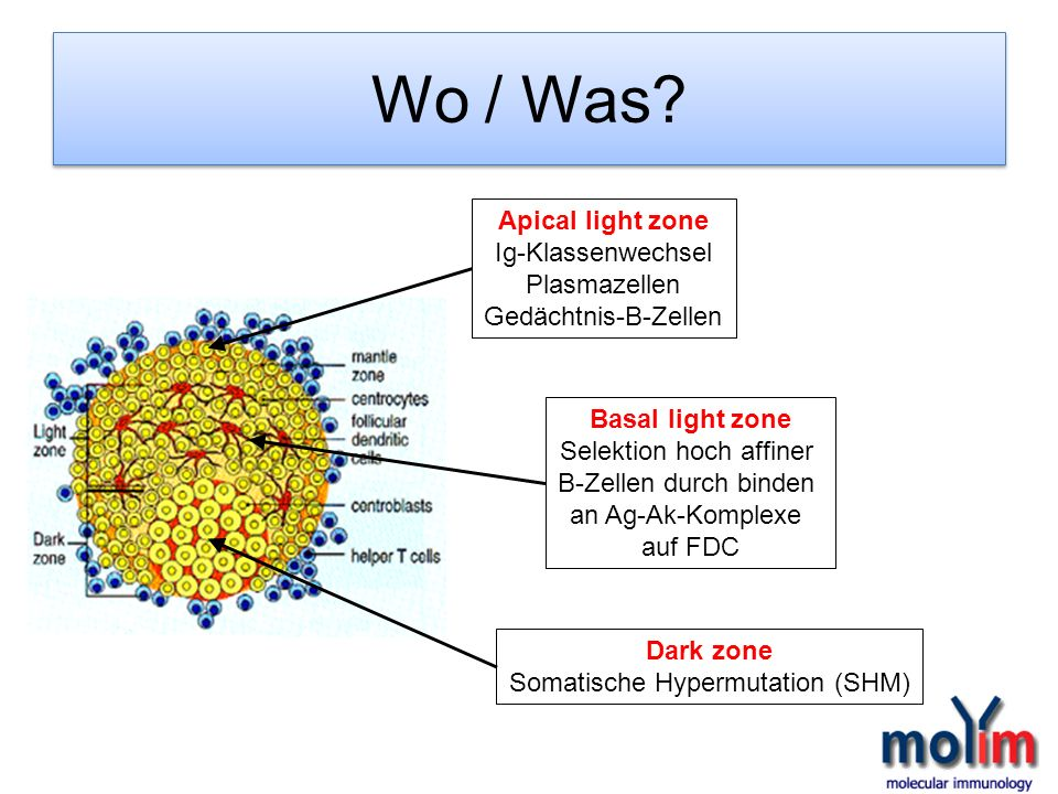 Wo / Was Apical light zone Ig-Klassenwechsel Plasmazellen