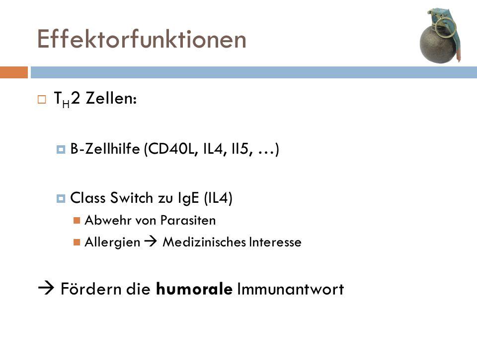 Effektorfunktionen TH2 Zellen:  Fördern die humorale Immunantwort