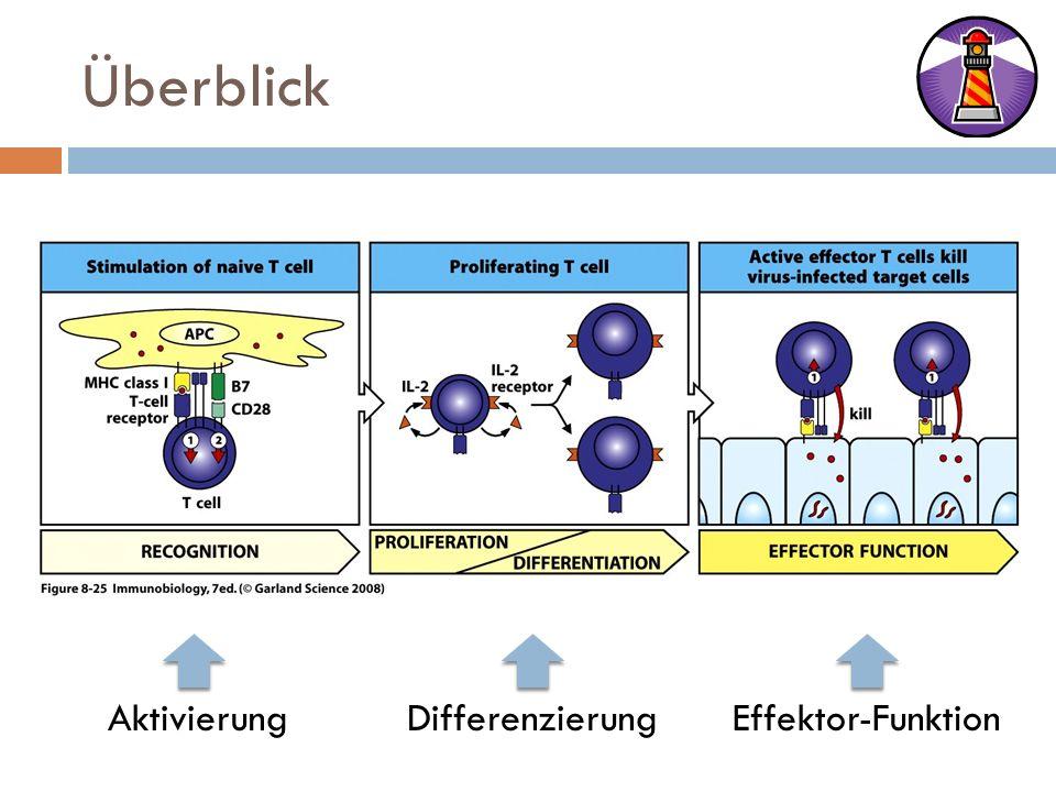 Überblick Aktivierung Differenzierung Effektor-Funktion