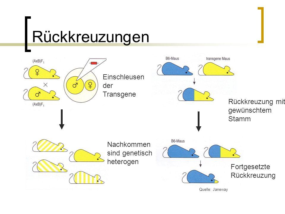 Rückkreuzungen Einschleusen der Transgene