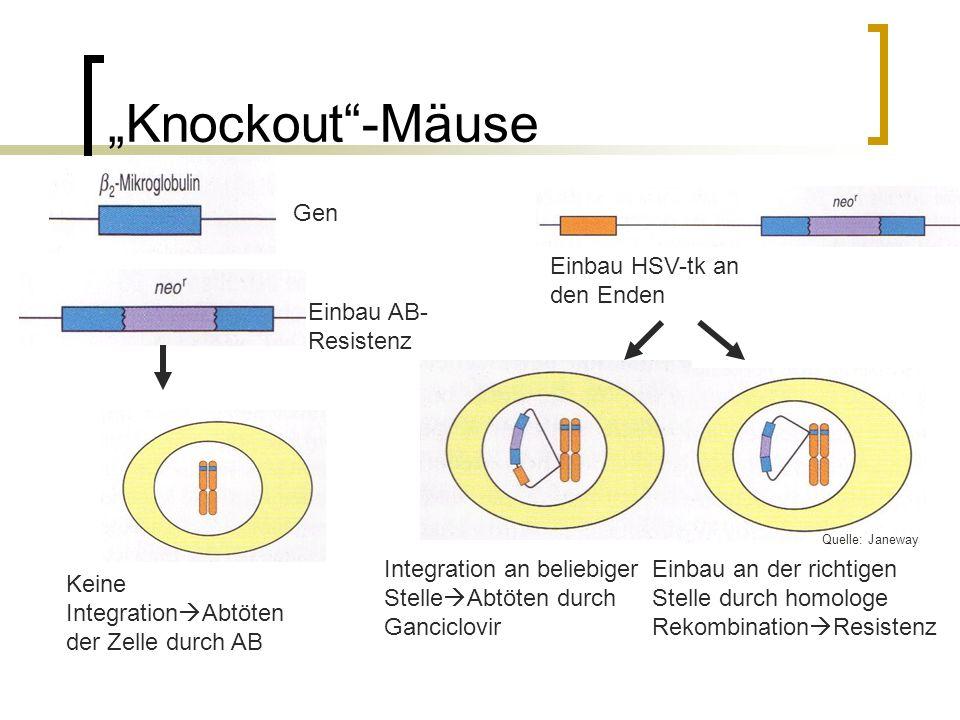 """""""Knockout -Mäuse Gen Einbau HSV-tk an den Enden Einbau AB-Resistenz"""