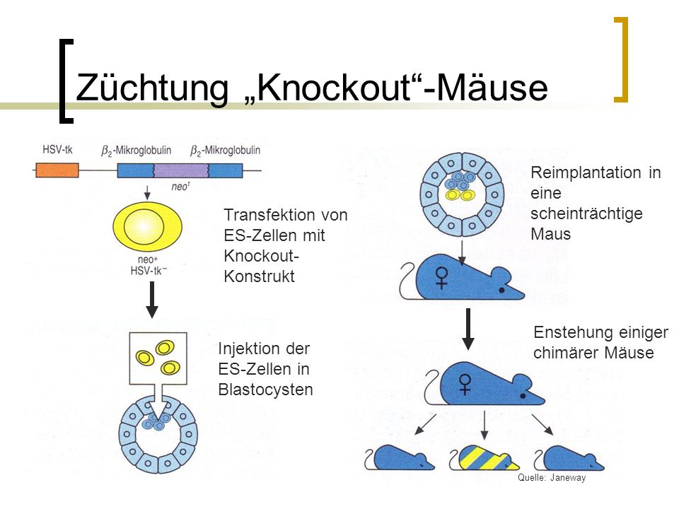 """Züchtung """"Knockout -Mäuse"""