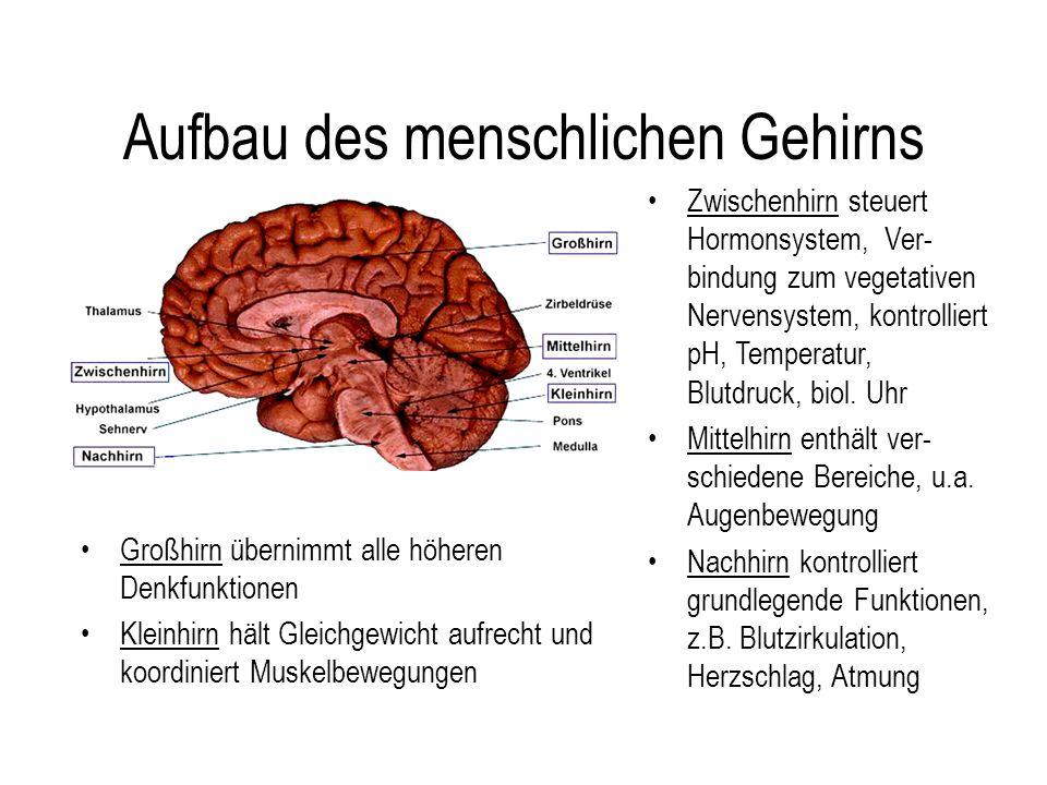 Aufbau des menschlichen Gehirns