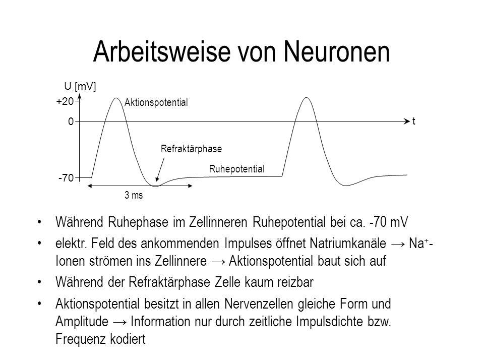 Arbeitsweise von Neuronen