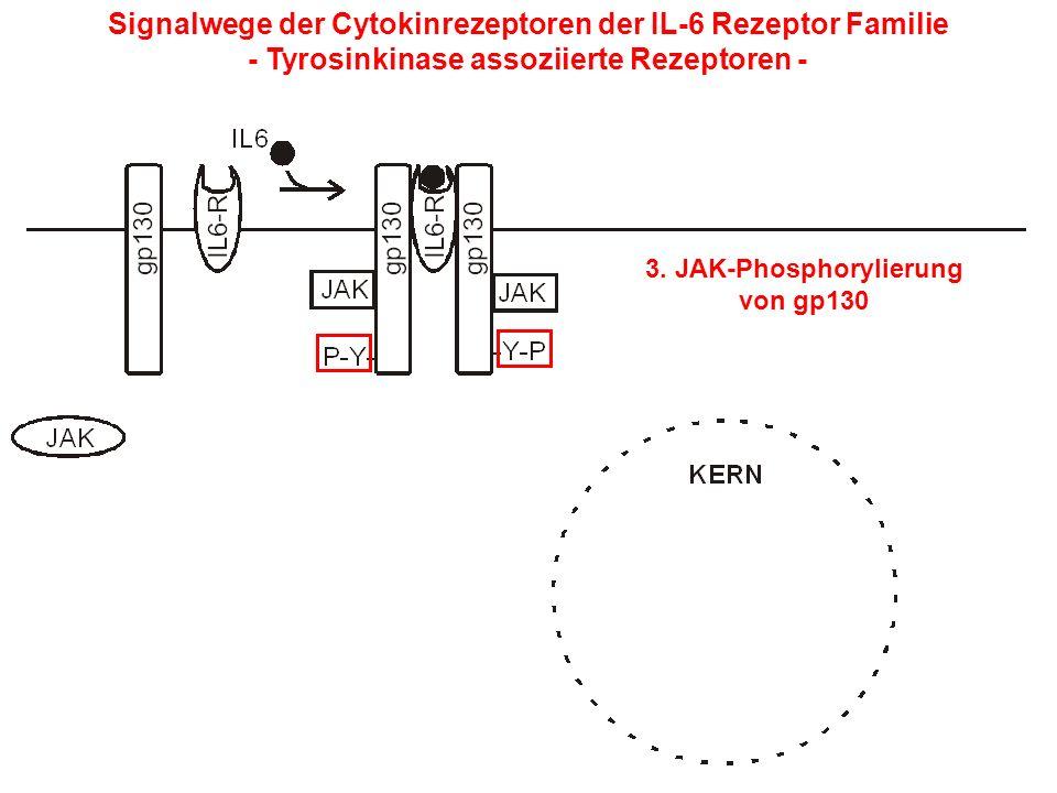 Signalwege der Cytokinrezeptoren der IL-6 Rezeptor Familie