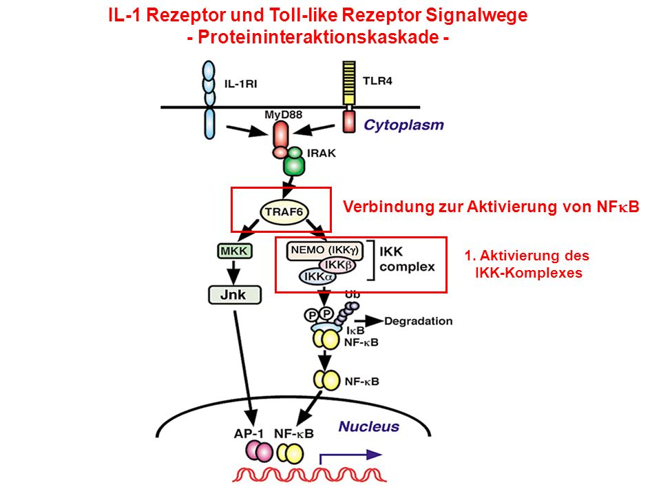 IL-1 Rezeptor und Toll-like Rezeptor Signalwege
