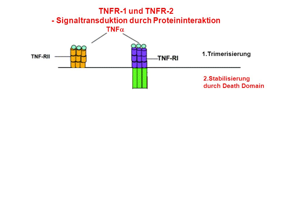 - Signaltransduktion durch Proteininteraktion