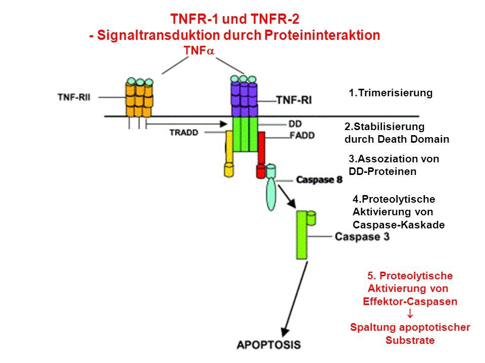 - Signaltransduktion durch Proteininteraktion Spaltung apoptotischer