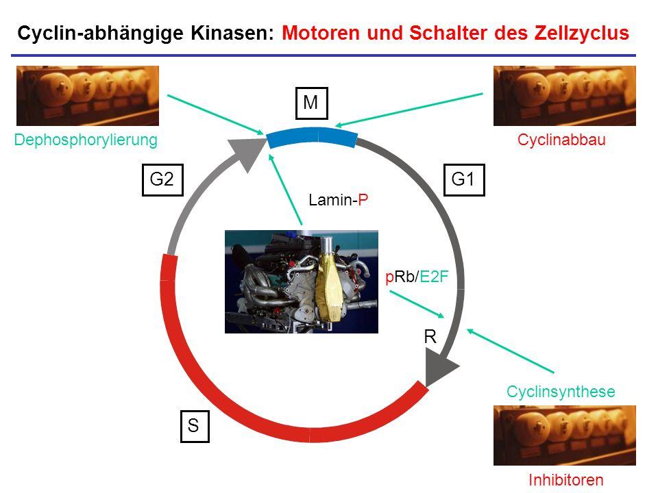 Cyclin-abhängige Kinasen: Motoren und Schalter des Zellzyclus