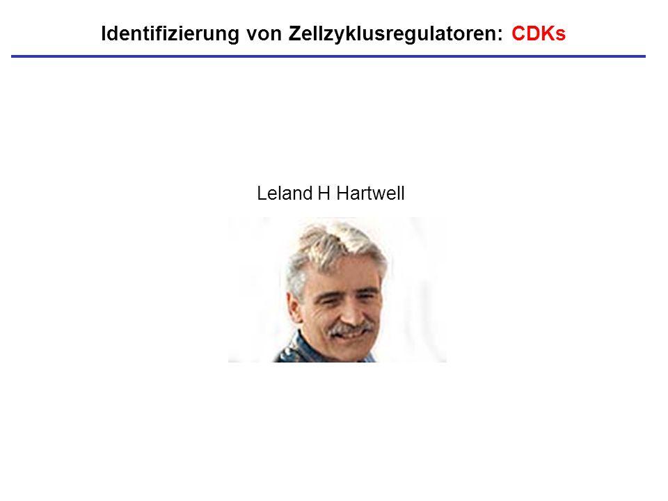 Identifizierung von Zellzyklusregulatoren: CDKs