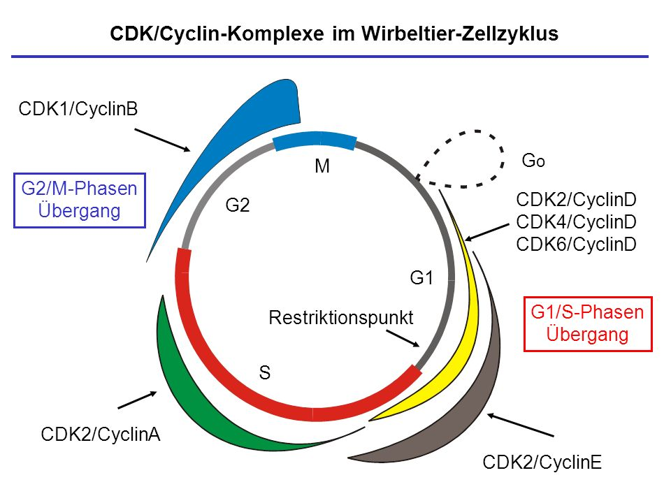 CDK/Cyclin-Komplexe im Wirbeltier-Zellzyklus