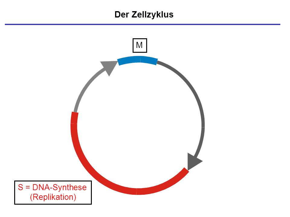 Der Zellzyklus M S = DNA-Synthese (Replikation)