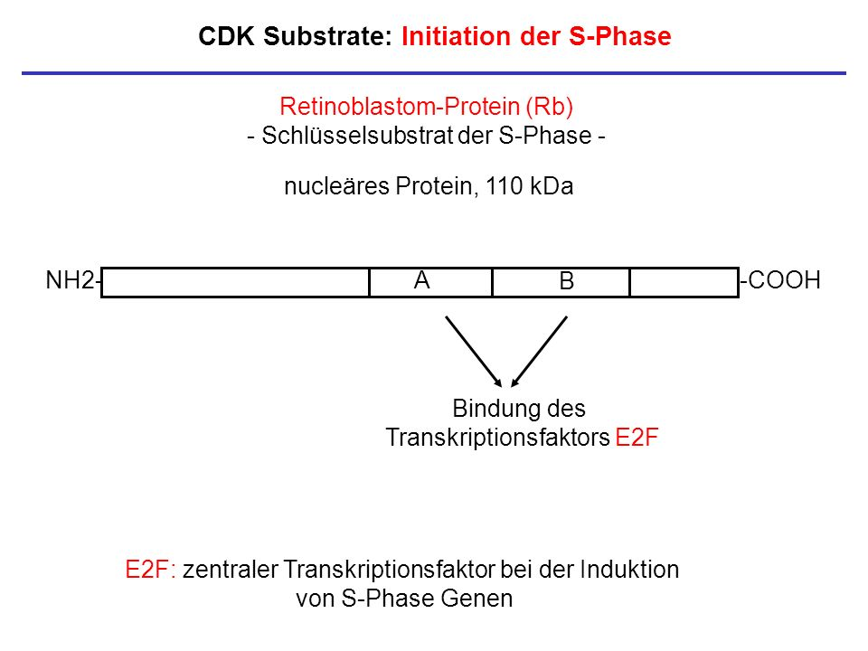 CDK Substrate: Initiation der S-Phase