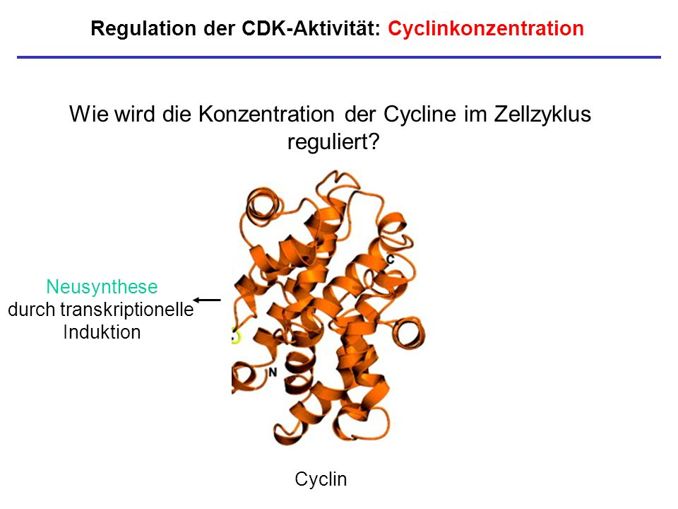 Regulation der CDK-Aktivität: Cyclinkonzentration