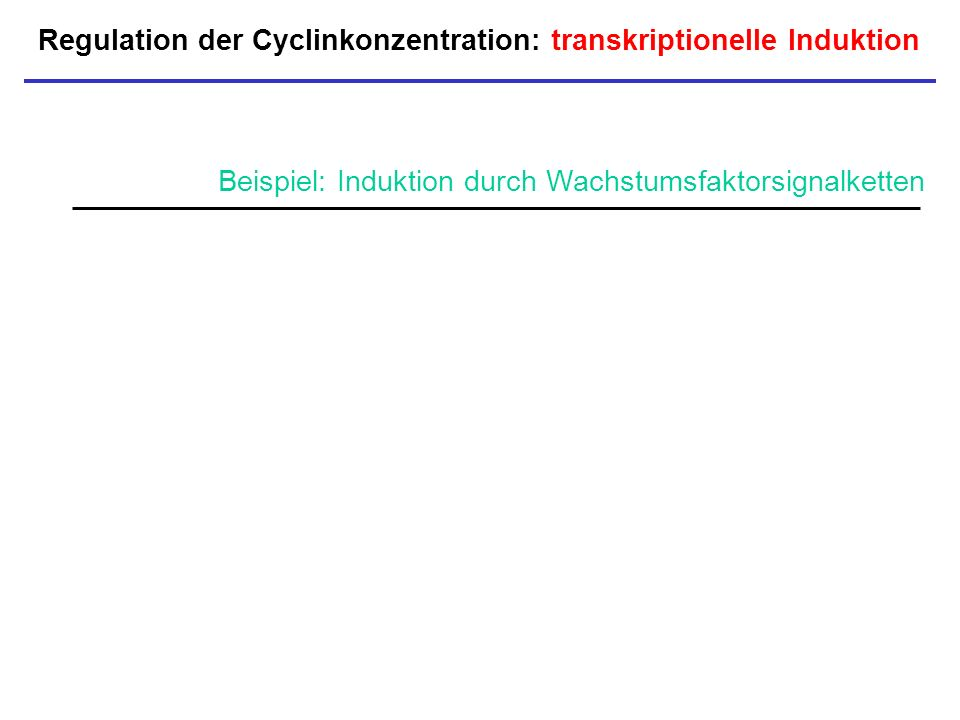 Regulation der Cyclinkonzentration: transkriptionelle Induktion