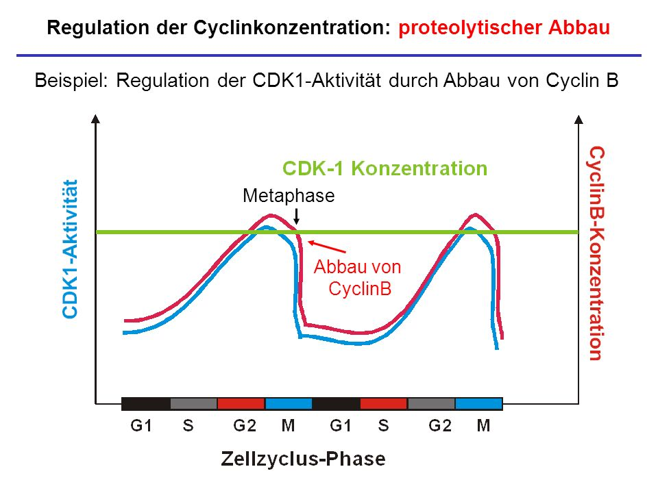 Regulation der Cyclinkonzentration: proteolytischer Abbau
