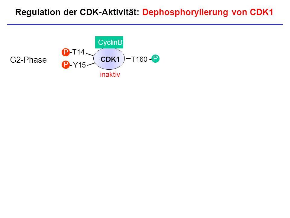 Regulation der CDK-Aktivität: Dephosphorylierung von CDK1