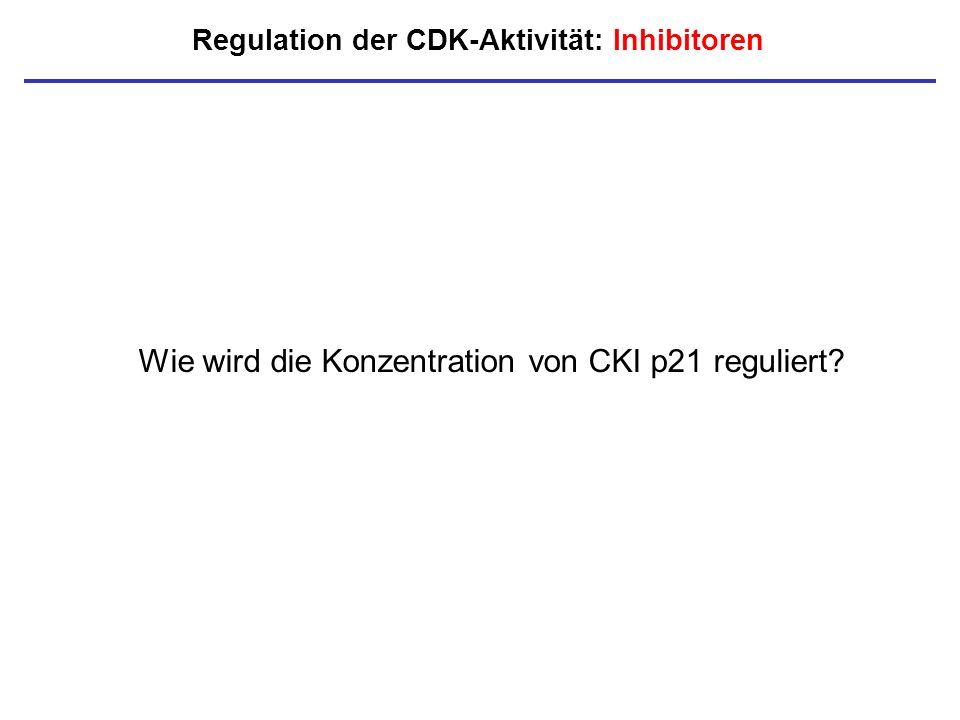 Regulation der CDK-Aktivität: Inhibitoren