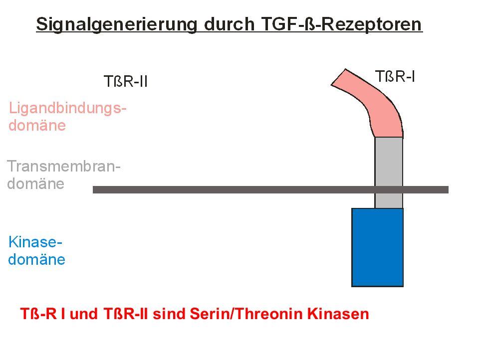 Tß-R I und TßR-II sind Serin/Threonin Kinasen