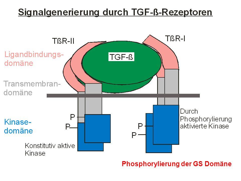 Phosphorylierung der GS Domäne